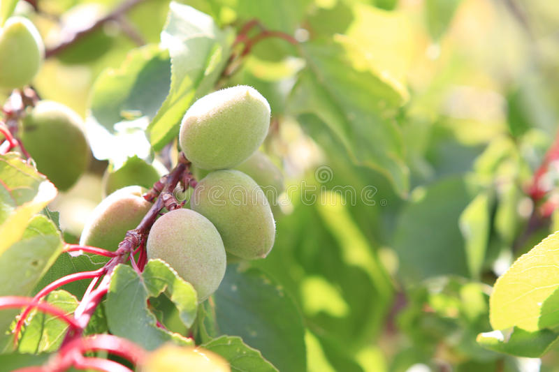 Immature apricot royalty free stock images