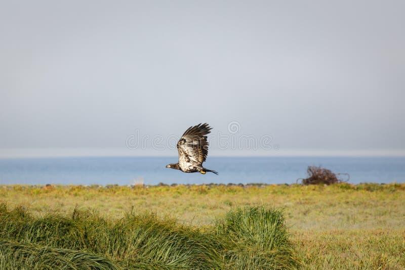 Immature bald eagle in flight over salt marsh in Alaska royalty free stock photography