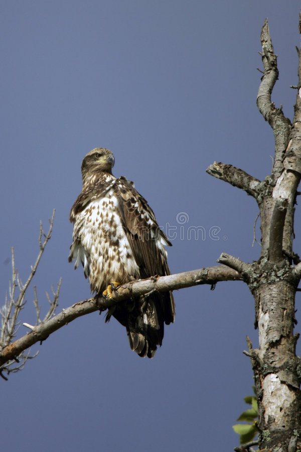 Immature Bald Eagle perched stock images