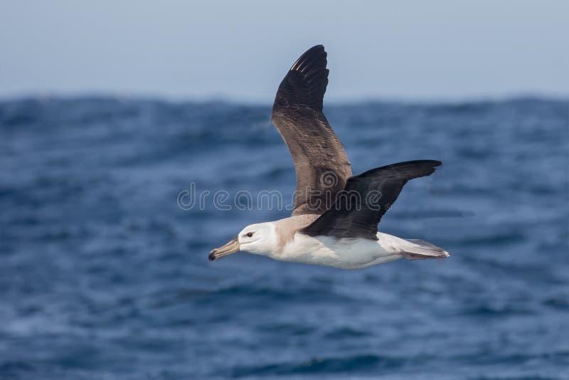 Immature Black browed Albatross in flight stock image