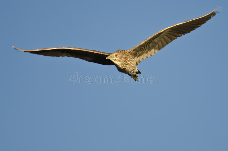 Immature Black-crowned Night-Heron Flying in a Blue Sky royalty free stock photos