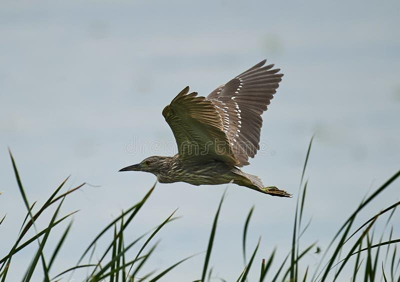 Immature Black-crowned Night Heron royalty free stock photo