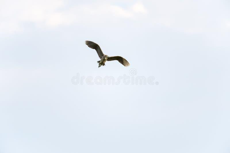 Immature Black-crowned Night-Heron stock image