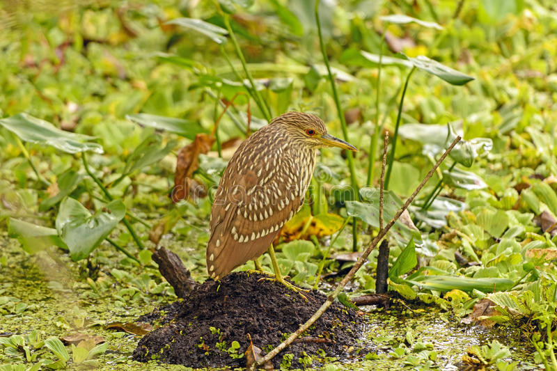 Immature Black-Crowned Night Heron in a swamp royalty free stock image