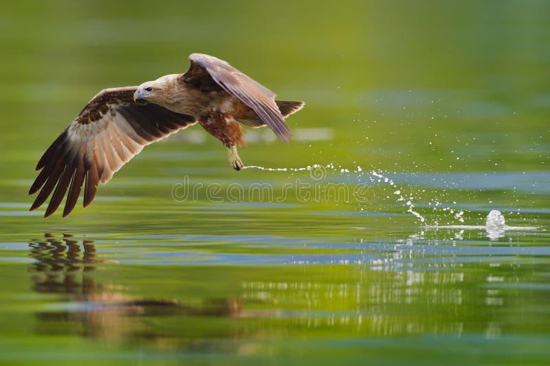 Immature brahminy kite hunting. Photo of immature brahminy kite hunting in the lake royalty free stock photo