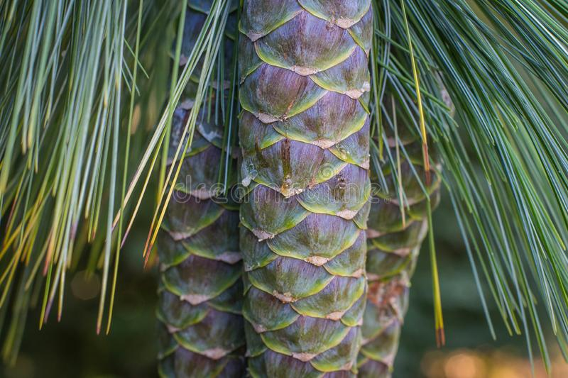 Immature cones of the Bhutan pine royalty free stock images