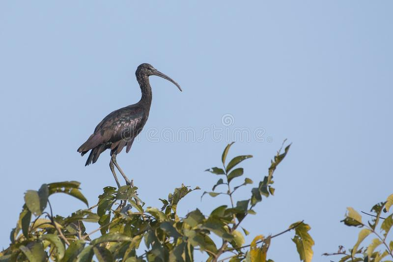 Immature Glossy Ibis Sitting on Tree Top. The glossy ibis is a wading bird in the ibis family,with its long, slender, down-curved bill and magnificent plumage royalty free stock photography