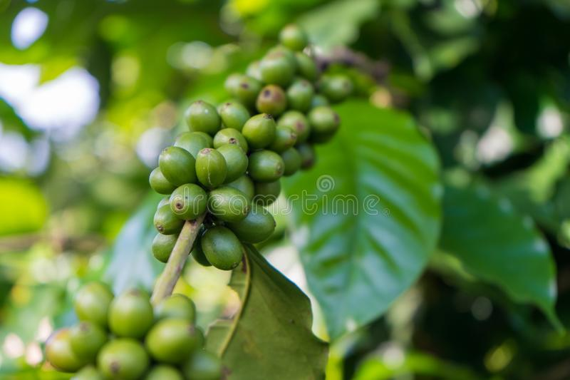 Immature green coffee cherries ont he branch which are the source of coffee beans. Immature green coffee cherries ont he branch royalty free stock photography