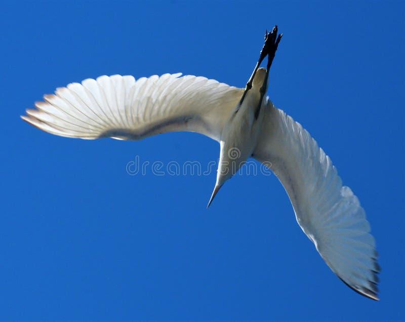 An immature Little Blue Heron flies overhead near the small marina in Florida stock photos