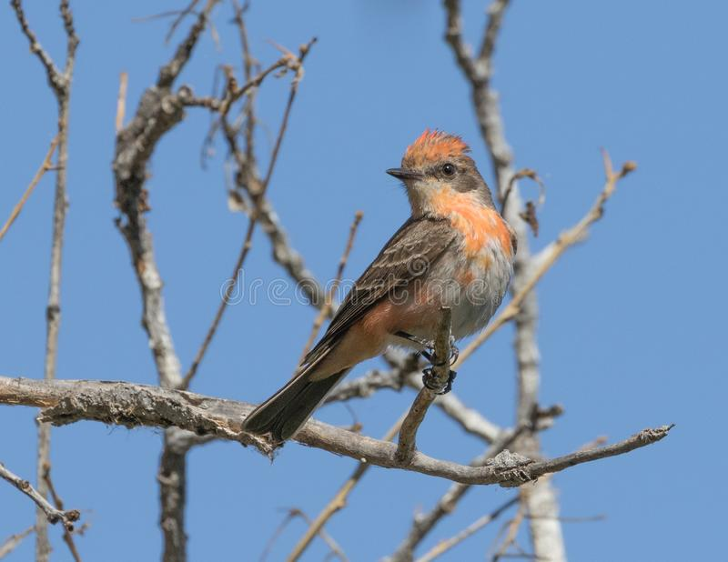 Immature Male Vermilion Flycatcher. The vermilion flycatcher or common vermilion flycatcher is a small passerine bird in the Tyrannidae, or tyrant flycatcher stock photos