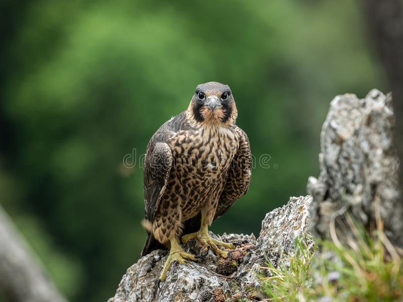 An immature peregrine falcon sitting on a rock royalty free stock image