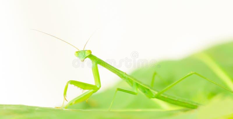 Immature praying mantis nymph closeup