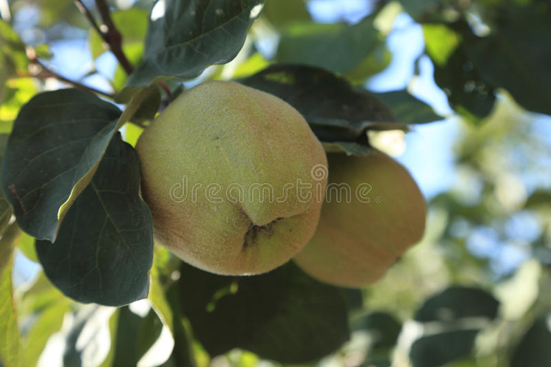 Immature Quinces (Cydonia Oblonga) Royalty Free Stock Images