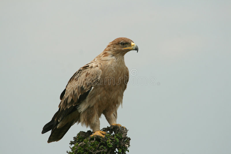 Download Immature tawny eagle stock image. Image of eagle, power - 7332515
