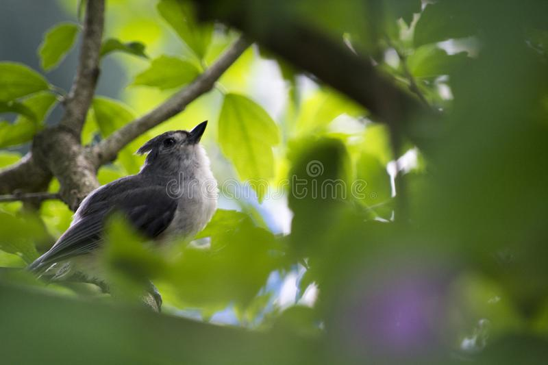 Young tufted titmouse deep in a tree. An immature tufted titmouse perched deep in a bush awaits a parent to feed it stock images