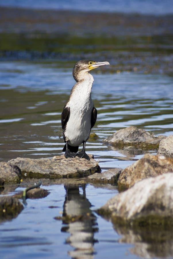 Immature White-breasted Cormorant