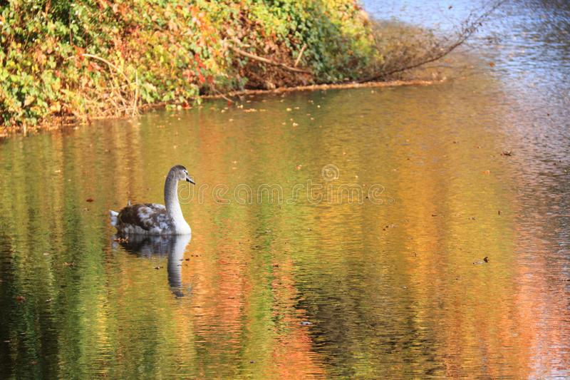 Immature young swan swimming in lake stock image
