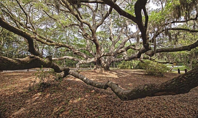 Download Immense spreading oak stock image. Image of landscape - 9250651