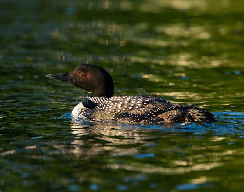 Immer comum do Gavia da natação do mergulhão-do-norte foto de stock royalty free