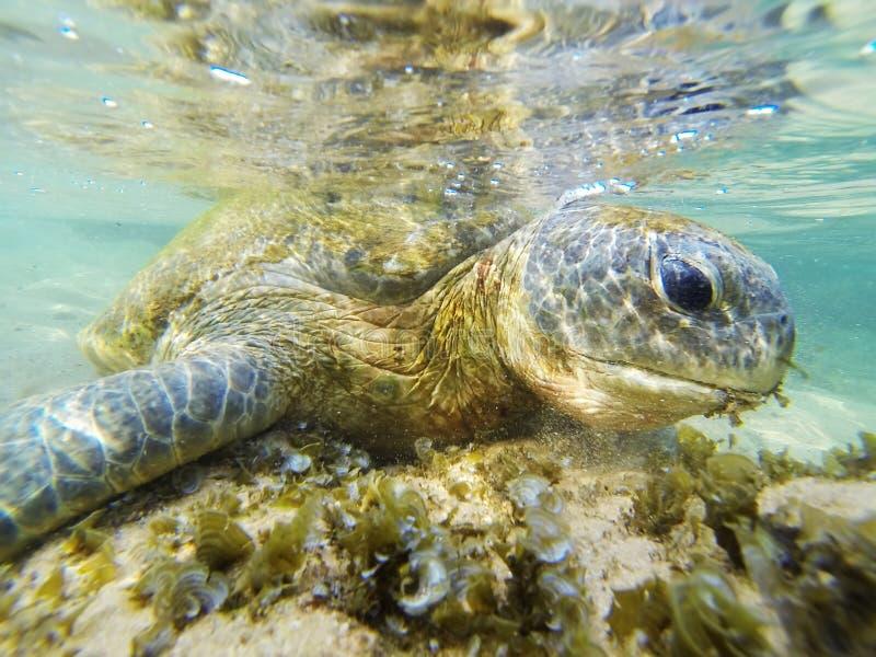 Immergendosi con una tartaruga nell'Oceano Indiano immagine stock libera da diritti