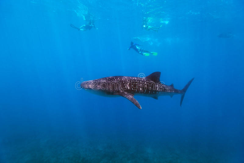 Immergendosi con uno squalo balena fotografia stock