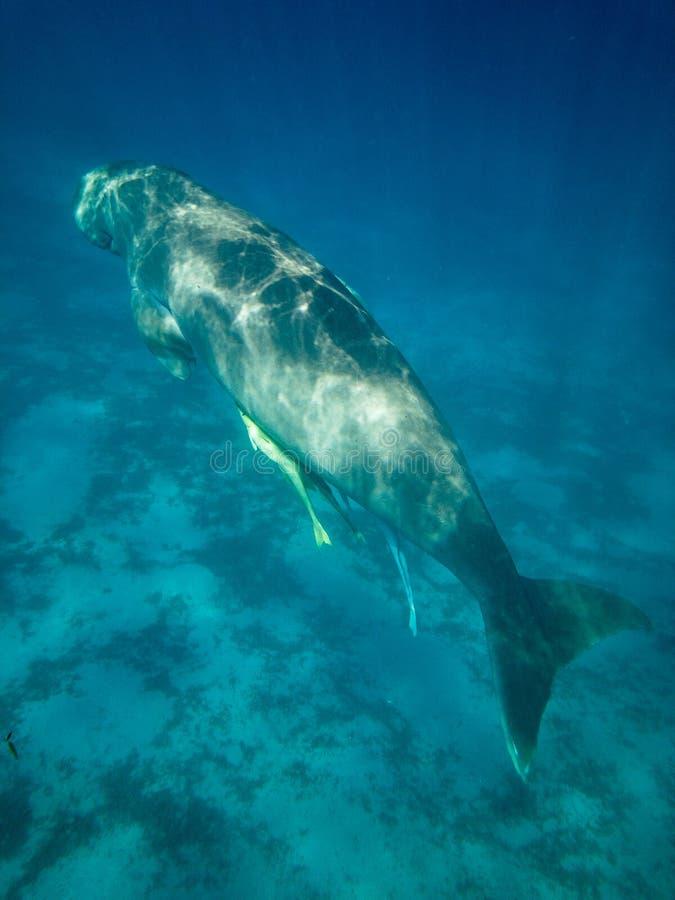 Immergendosi in Marsa Alam, l'Egitto Dugong dugon fotografie stock
