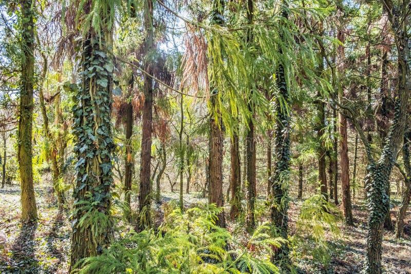 Immergrüne Bäume im Arboretum Tesarske Mlynany, Slowakei stockfotografie