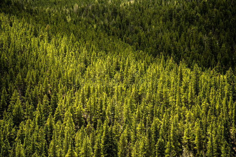 Immergrüne Kiefer - Gebirgswald stockfotos