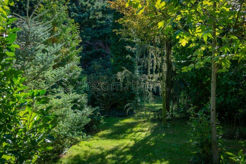 Immergrüne Landschaft des Gartens: Tanne Abies koreana Silberlocke, Pinus parviflora Glauca, Juniperus communis Horstmann lizenzfreie stockfotografie