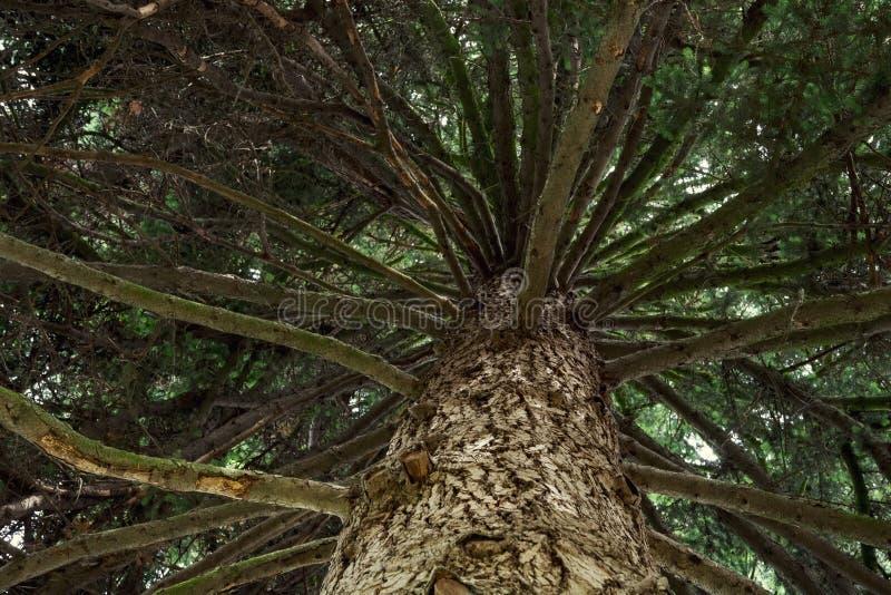 Immergrüner Baum - Ansicht von unten nach oben stockbild