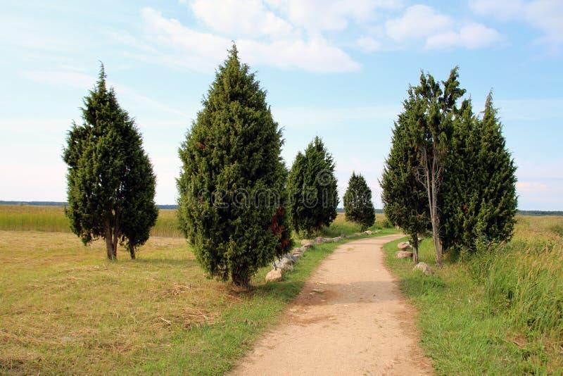 Immergrüner Baum Thuja, Arborvitaes stockfotos