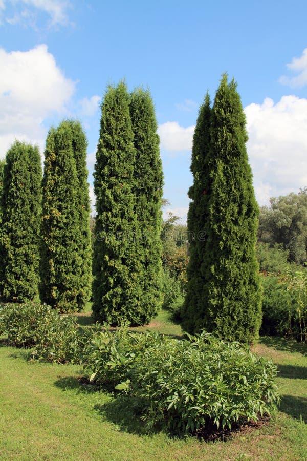 Immergrüner Baum Thuja stockbilder