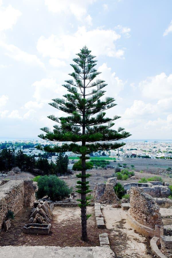 Immergrüner Nadelbaum der Araukarie auf den Ruinen alt und Hintergrund von neuem Karthago Tunesien lizenzfreies stockfoto