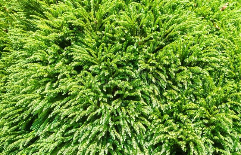 Immergrüner Nadelbaumbaumhintergrund, abstrakt stockbild