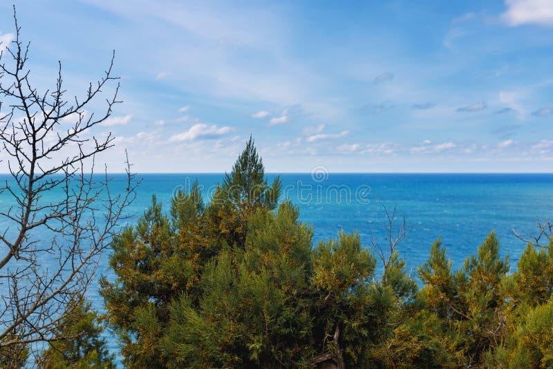 Immergrünes Juniperushoch ist Koniferenanlage der Klasse Wacholderbuschzypressengewächse auf Felsen in der Waldung auf der Küste stockfotografie