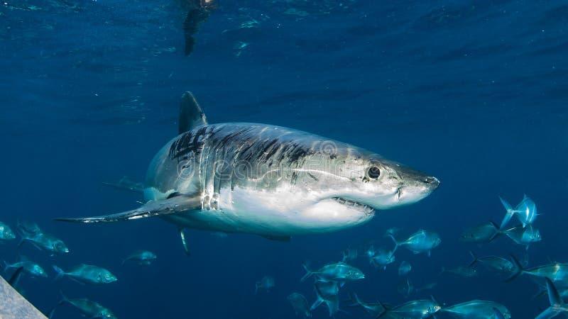 Immersione subacquea con lo squalo di Great White, Australia occidentale della gabbia fotografia stock libera da diritti