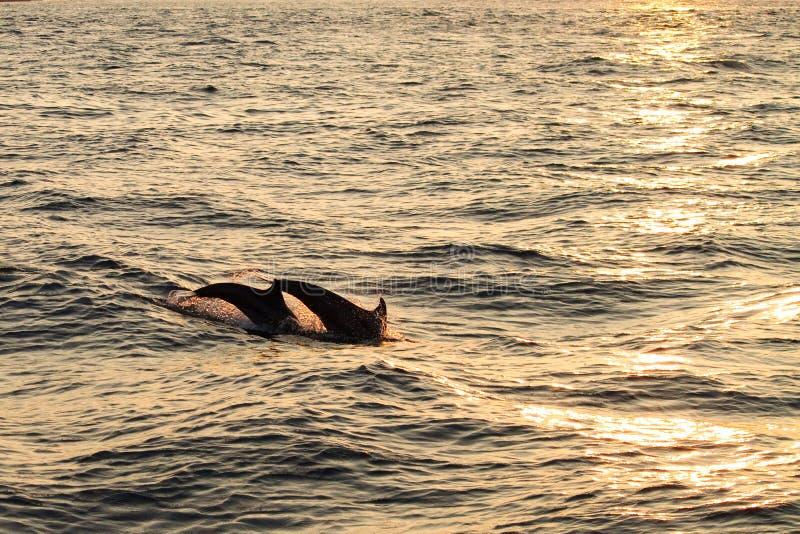 Immersione subacquea del delfino fotografia stock
