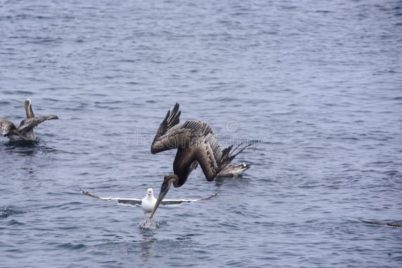 Immersione subacquea del pellicano di Brown immagine stock