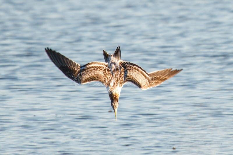 Immersione subacquea dell'uccello fotografia stock
