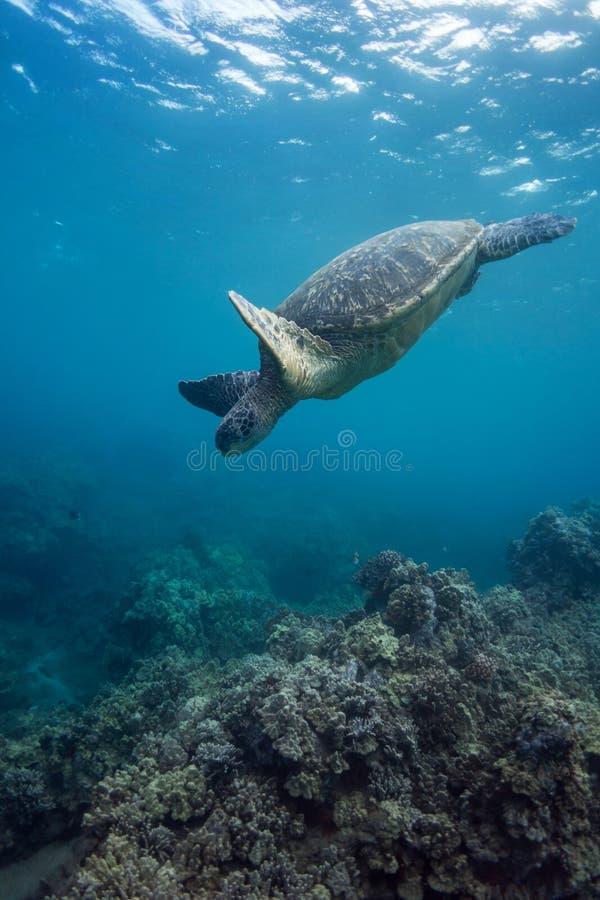 Immersione subacquea della tartaruga fotografia stock libera da diritti