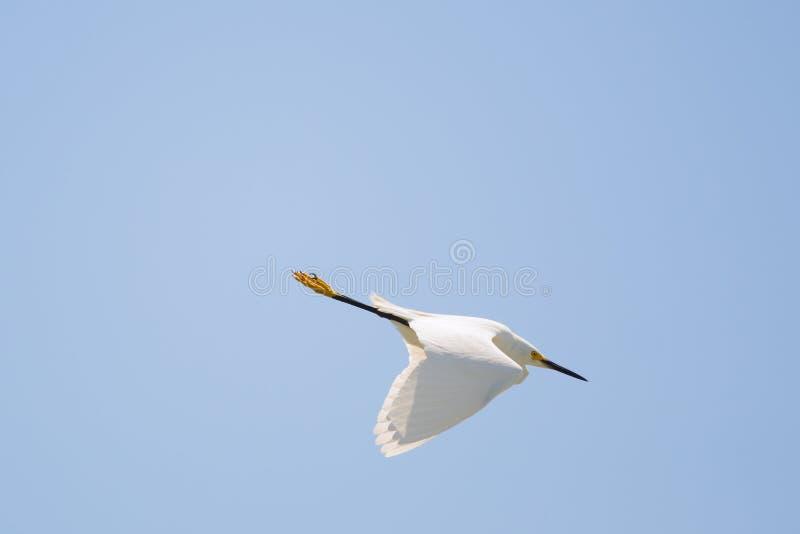 Download Immersione Subacquea Di Nevicata Dell'egretta Fotografia Stock - Immagine di florida, volo: 30828260