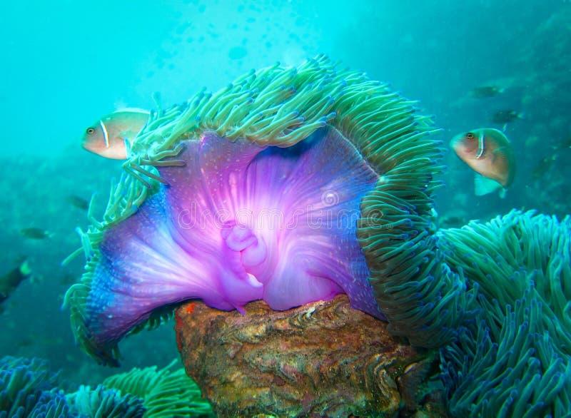 Immersione subacquea Koh Tao Purple Sea Anemone immagini stock