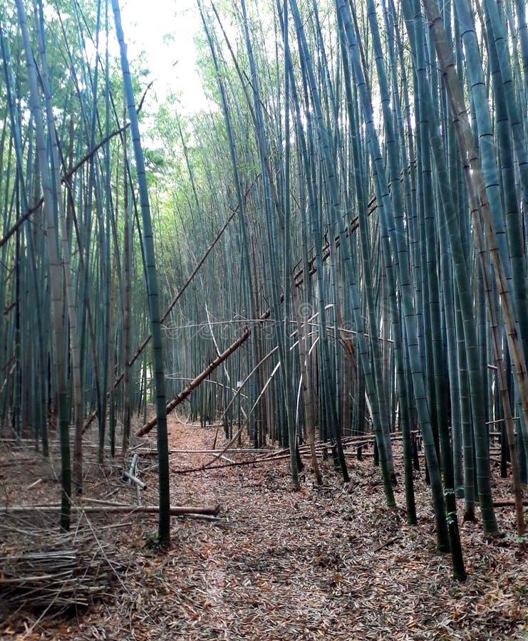 Immerso in un letto di bambù delle canne immagini stock