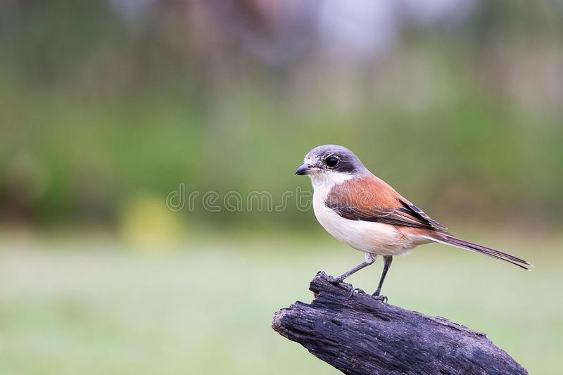 Burmese Shrike. Immigration bird Burmese Shrike in Tropical Park royalty free stock images