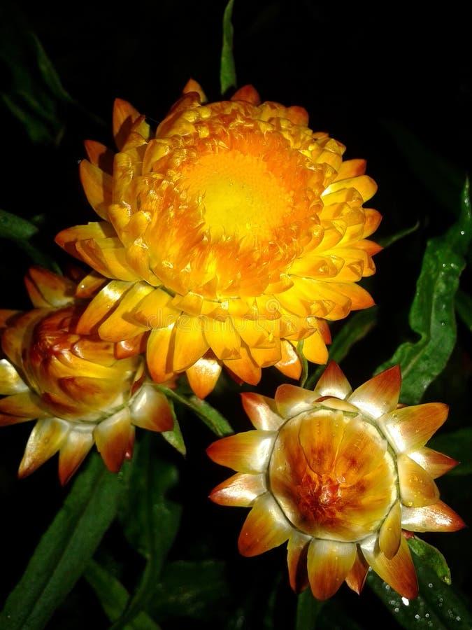 immortelle庭院或者蜡菊属植物—干花巨大品种  库存图片