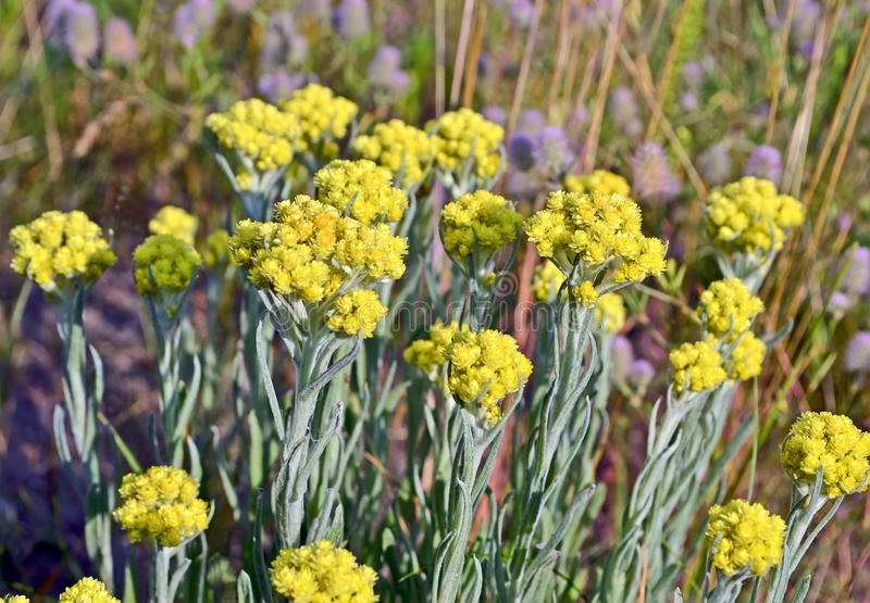 Immortelle, żółta lecznicza roślina, lata środowisko zdjęcia stock
