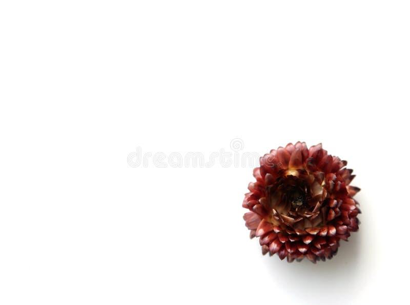 Immortelle Blume auf einem weißen Hintergrund lizenzfreie stockfotografie