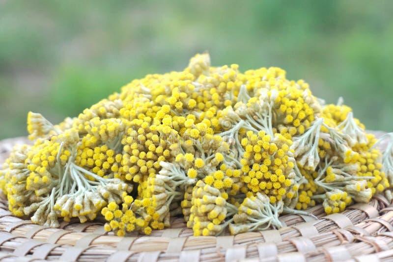 Immortelle eller evigt huvud av blommor på plattan med grön bakgrund royaltyfri foto