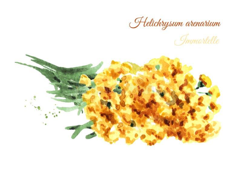 Immortelle sandless secado Arenarium amarillo del Helichrysum de las flores Planta medicinal Ejemplo exhausto de la mano de la ac stock de ilustración