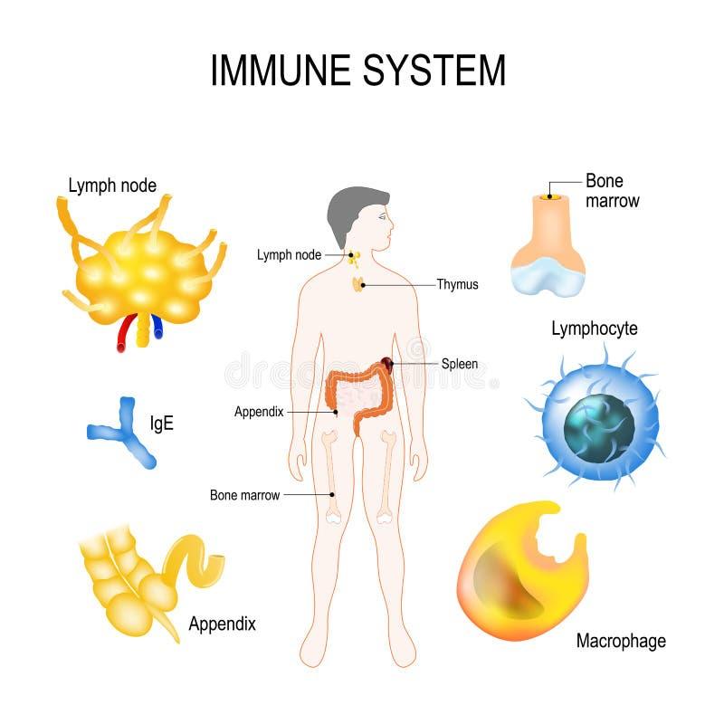 Immune system stock illustration